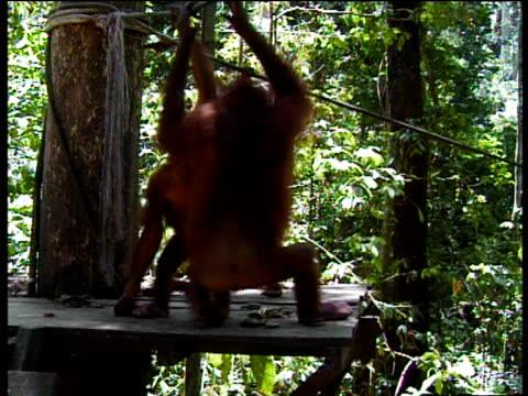 Bornean Orang Utans play on platform in Orang Utan sanctuary Borneo