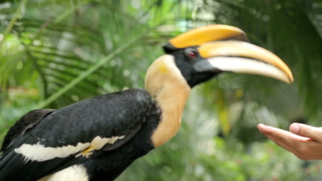 borneo exotic great hornbill bird - beak stock videos & royalty-free footage