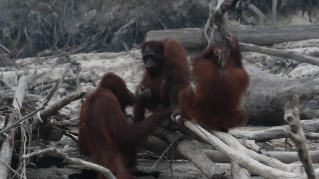 borneo orangutans are seen in salat island as haze from the forest fires blanket the area at marang on september 15 2019 in the outskirts of... - borneo stock-videos und b-roll-filmmaterial