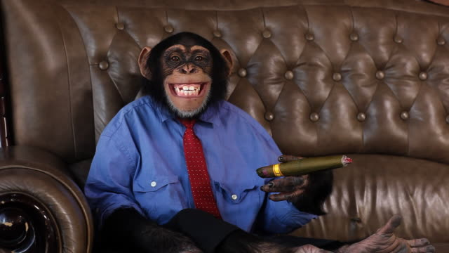 boss chimp cigar smile - primate stock videos & royalty-free footage