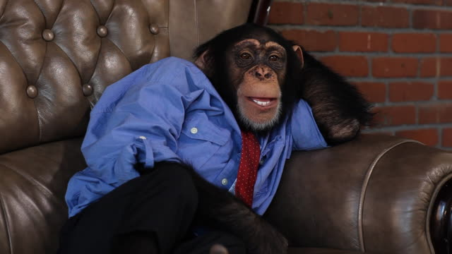 boss chimp relaxing - chimpanzee stock videos & royalty-free footage