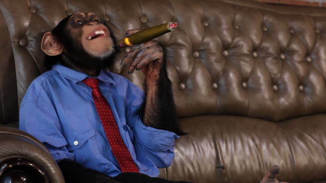 boss chimp smoking cigar - primate stock videos and b-roll footage