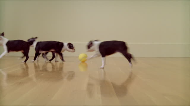 MS, ZI, FOCUSING, Boston Terrier puppies playing in room