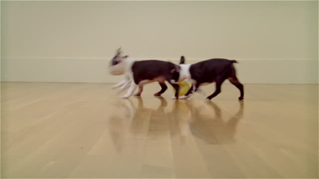 MS, FOCUSING, Boston Terrier puppies playing in room