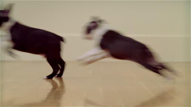 ms, defocus, boston terrier puppies running in room - terrier stock-videos und b-roll-filmmaterial