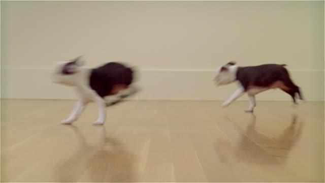 MS, DEFOCUS, Boston Terrier puppies running in room