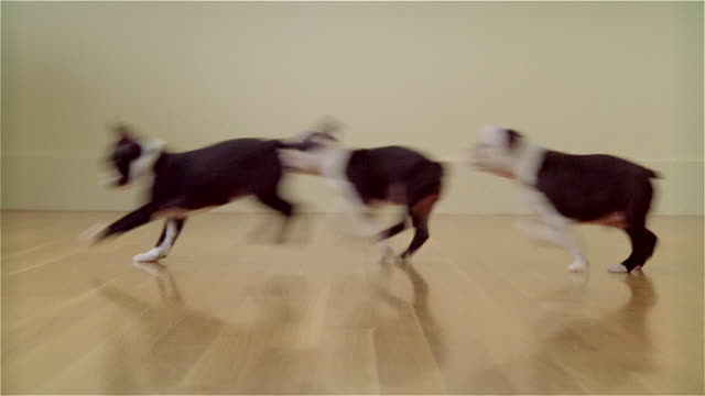 vídeos de stock e filmes b-roll de ms, defocus, boston terrier puppies running in room - bola de ténis