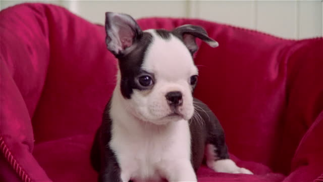cu, boston terrier puppy in pet bed - pampered pets stock videos and b-roll footage