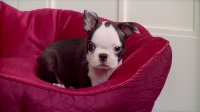 cu, boston terrier puppy in pet bed - pet bed stock videos and b-roll footage