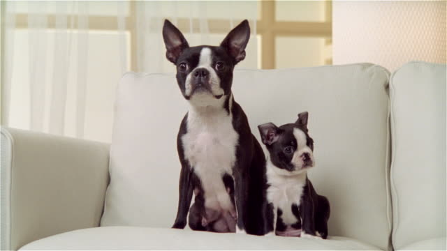 ms, boston terrier with puppy on sofa, portrait - two animals stock videos and b-roll footage