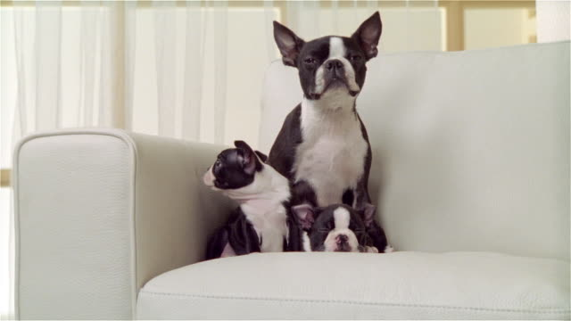 MS, Boston terrier with two puppies on sofa, portrait