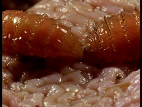 bcu bot fly larvae feeding on horses stomach lining, england - füttern stock-videos und b-roll-filmmaterial