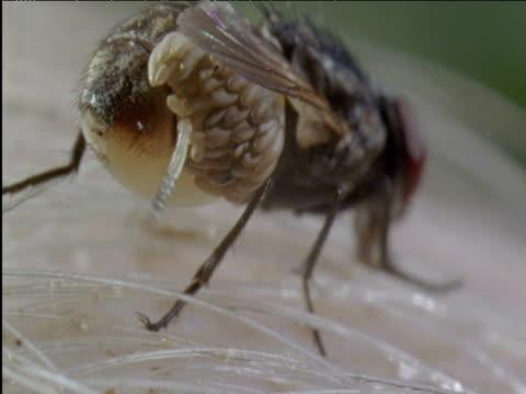 botfly larva wriggles free from egg stuck to housefly brazil - stubenfliege stock-videos und b-roll-filmmaterial