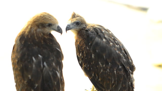 both brahminy kites are catched as pet - claw stock videos and b-roll footage