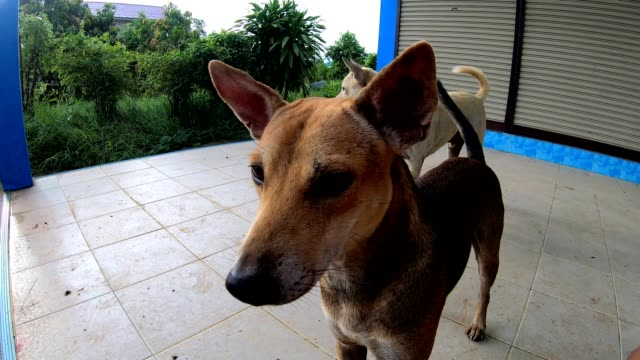 both thai dogs play on the tile floor. - pursuit sports competition format stock videos and b-roll footage