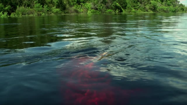 ms boto river dolphin (inia geoffrensis) swimming to surface / manaus, amazonas, brazil - amazonas state brazil stock videos and b-roll footage