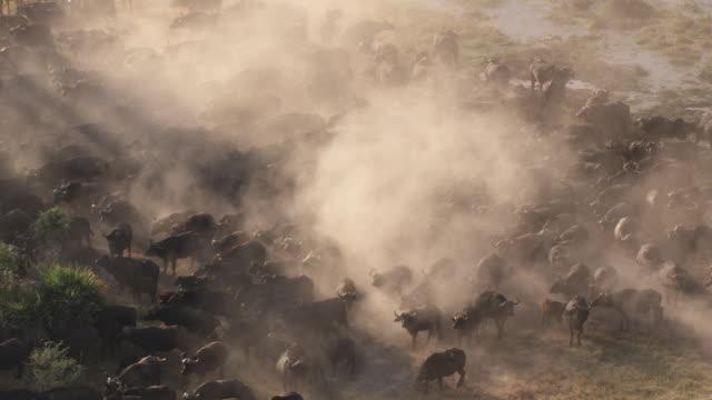 Botswana, Africa : Buffalo herd