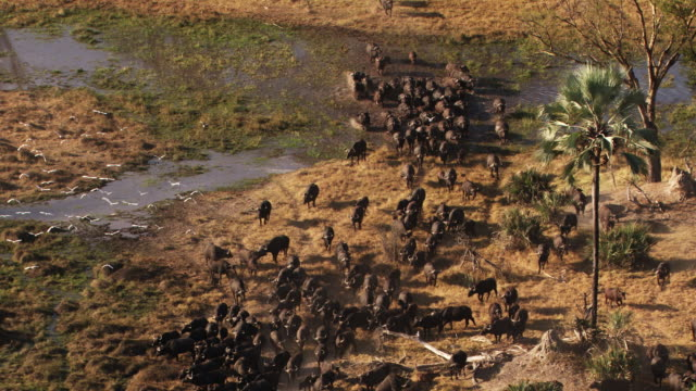 botswana, africa : buffalo - 自生点の映像素材/bロール