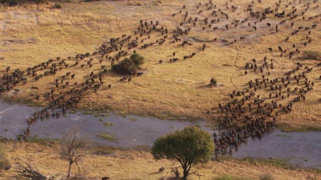 vídeos y material grabado en eventos de stock de botswana, africa : buffalo - delta de okavango