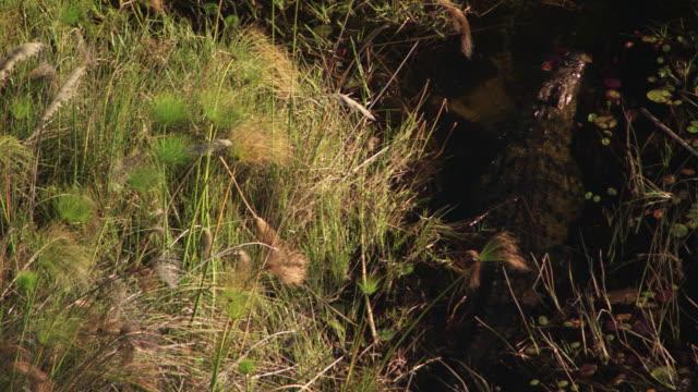 botswana, africa : crocodile - crocodile stock videos & royalty-free footage