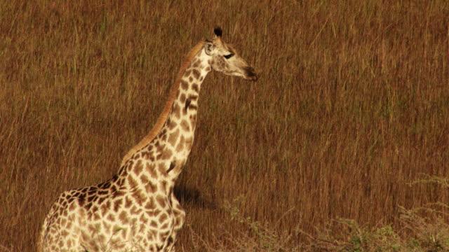 vídeos y material grabado en eventos de stock de botswana, africa : giraffe - jirafa