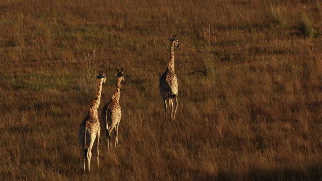 Botswana, Africa : Giraffe