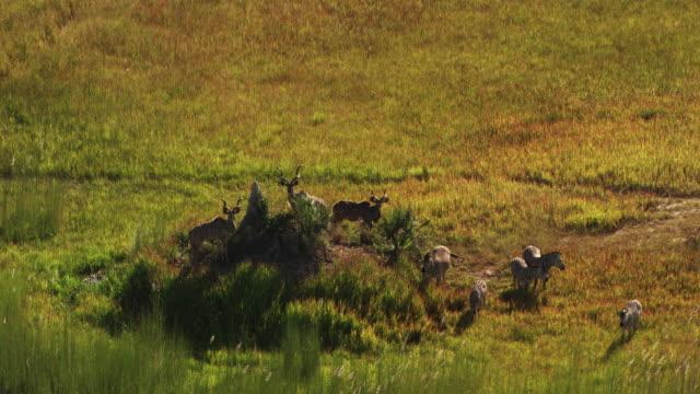 vídeos y material grabado en eventos de stock de botswana, africa : zebra in the wild - delta de okavango