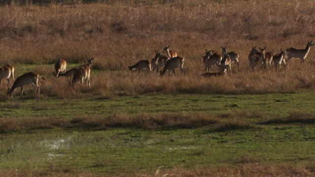 vídeos y material grabado en eventos de stock de botswana : antelope in the okavango delta - delta de okavango