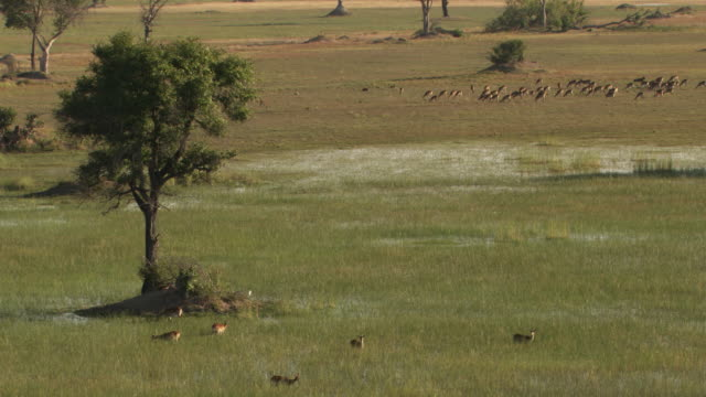 botswana : antelope in the okavango delta - antilope stock-videos und b-roll-filmmaterial