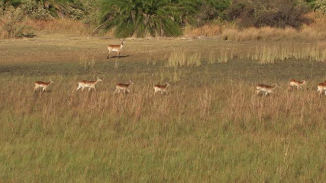 vídeos y material grabado en eventos de stock de botswana : antelope running in the okavango delta - delta de okavango