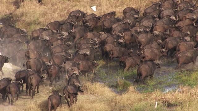 vídeos y material grabado en eventos de stock de botswana : buffalo in the okavango delta - delta de okavango