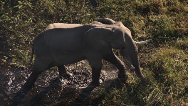 stockvideo's en b-roll-footage met botswana : elephant in the okavango delta - olifant