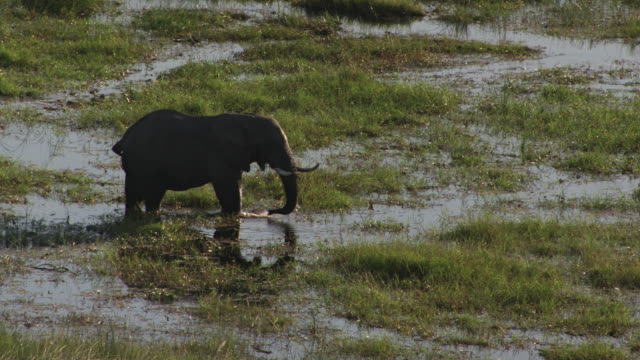 Botswana : Elephant in the okavango delta