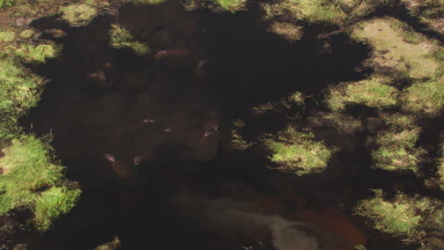 botswana : hippopotamus in water - オカバンゴデルタ点の映像素材/bロール