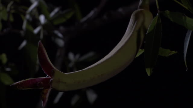 bottle baobab flower opens at night, madagascar - おしべ点の映像素材/bロール