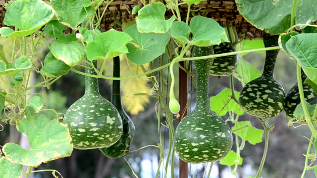 bottle gourd hanging from the tree - gourd stock videos & royalty-free footage