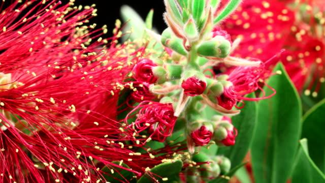 Bottlebrush flor florecer extreme macro 4 K