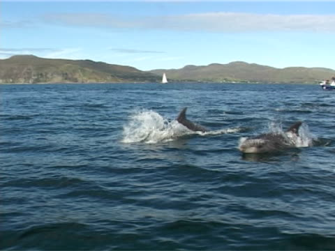 bottlenose dolphin as weave underwater   and leap, backgroup of tug and shore - バンドウイルカ点の映像素材/bロール