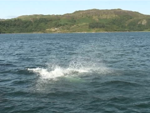 bottlenose dolphin breaches in front of camera, see hills behind - hebrides stock videos & royalty-free footage