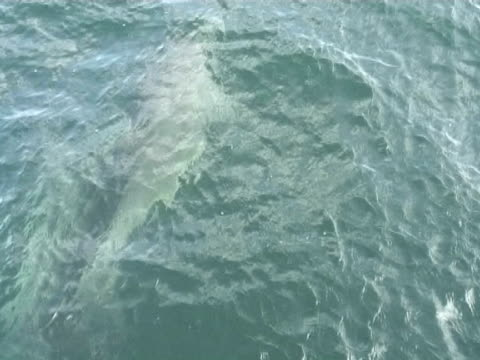 bottlenose dolphin breaking  s surface in front of camera - hebrides stock videos & royalty-free footage