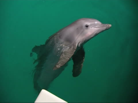 bottlenose dolphin (tursiops truncatus), captive, surfacing - surfacing stock videos and b-roll footage