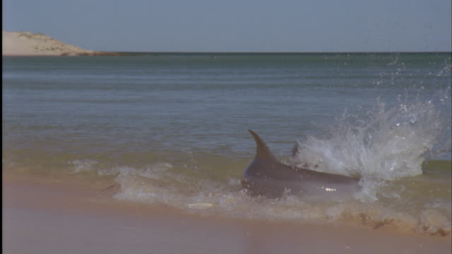 bottlenose dolphin (tursiops truncatus) catches fish in shallows, shark bay, australia - shark bay stock videos & royalty-free footage
