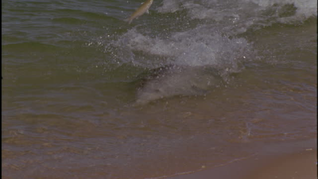 vidéos et rushes de bottlenose dolphin (tursiops truncatus) catches fish in shallows, shark bay, australia - grand dauphin