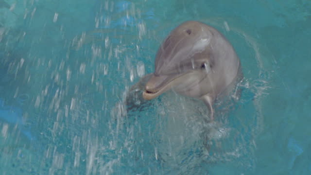 A bottlenose dolphin does tricks in clear blue water.