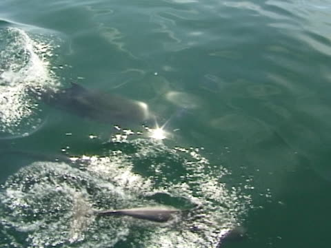 Bottlenose dolphin group surfacing in calm water, sparkly light, MS