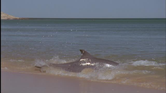 bottlenose dolphin (tursiops truncatus) hunts fish in shallows, shark bay, australia - bottle nosed dolphin stock videos & royalty-free footage