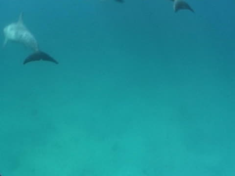 Bottlenose dolphin leaping out of the   perpendicular to each other