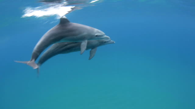 Bottlenose Dolphin (Tursiops) - Mozambique