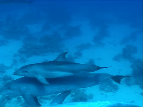 Bottlenose dolphin pod WS swimming above sand and coral