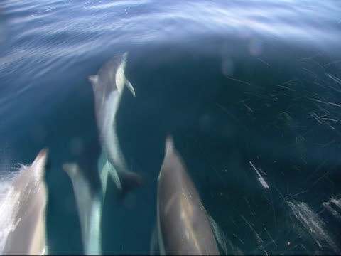 bottlenose dolphin (tursiops truncatus), school  swimming  uw-ts open sea ls 4. - cetacea stock videos and b-roll footage